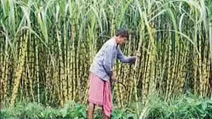 उप्र की 53 चीनी मिलों ने किया किसानों को शत-प्रतिशत भुगतान