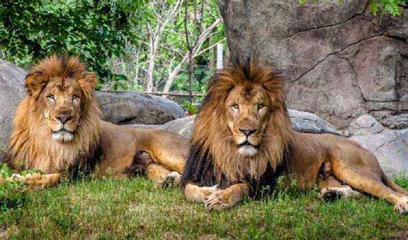 आधिकारिक जानकारी के अनुसार इन शेरों के नमूनों (नाक, गले और श्वसन तंत्र से एकत्र किए गए) को चिड़ियाघर प्रशासन ने 24 अप्रैल को सेलुलर और आणविक जीव विज्ञान केंद्र और लुप्तप्राय प्रजातियों के संरक्षण के लिए प्रयोगशाला